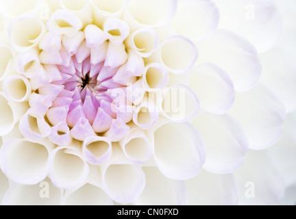 """Dahlia 'Josie Gott"""", Close up di viola e petali di colore bianco che si apre su un fiore. Foto Stock"""
