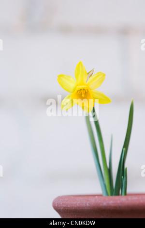 Narcissus 'tete a tete'. Unico daffodil in una pentola, contro una parete bianca. Foto Stock