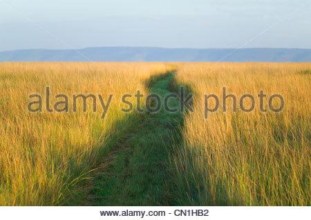 Sentiero tra erba alta sulla savana, il Masai Mara riserva nazionale, Kenya Foto Stock