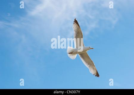 Volo del Gabbiano Foto Stock