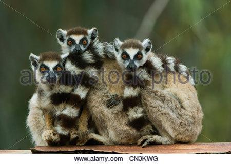 Anello-tailed lemuri, Madagascar Foto Stock