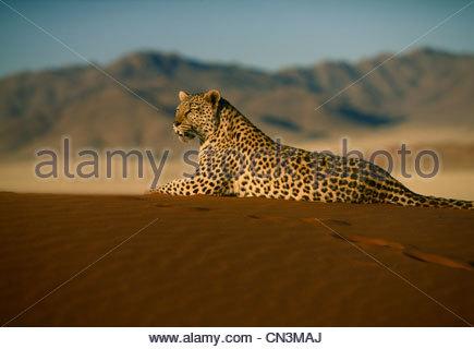 Leopard, Namib-Naukluft National Park, Namibia Foto Stock