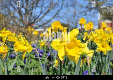 I narcisi in fiore su una soleggiata giornata di primavera Foto Stock