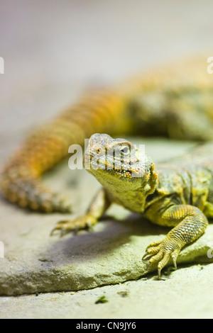 Sahara Dabb lucertola - Uromastyx geyri Foto Stock