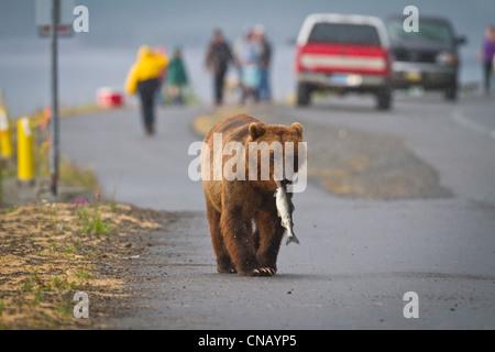 Un orso bruno cammina giù per una strada vicino a Valdez al punto di Allison con una rosa salmone nella sua bocca, Foto Stock