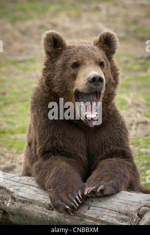 CAPTIVE: maschio marrone Kodiak Bear Cub in appoggio su un log con la bocca spalancata, Alaska Wildlife Conservation Foto Stock