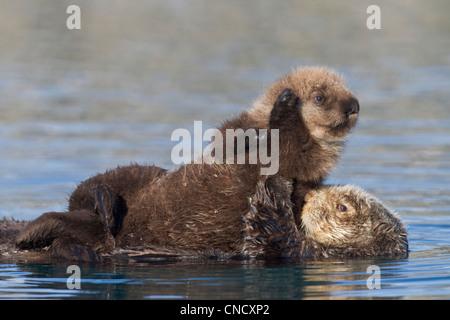 Femmina Lontra di mare con cucciolo neonato cavalcare il suo stomaco, Prince William Sound, centromeridionale Alaska, Foto Stock