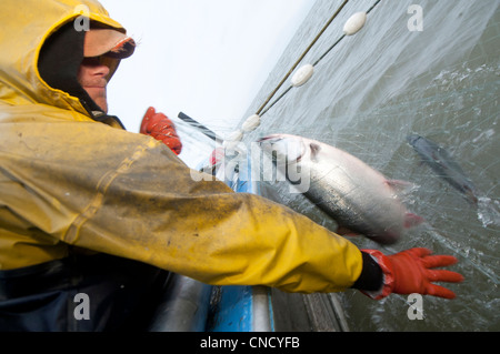 Pescatore commerciale sceglie il Salmone Sockeye fuori un set net nel fiume Naknek, Bristol Bay, Alaska, estate
