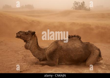Cammello Dromedario (Camelus dromedarius) adulto, in appoggio sul desert dune di sabbia durante la tempesta di sabbia, Foto Stock