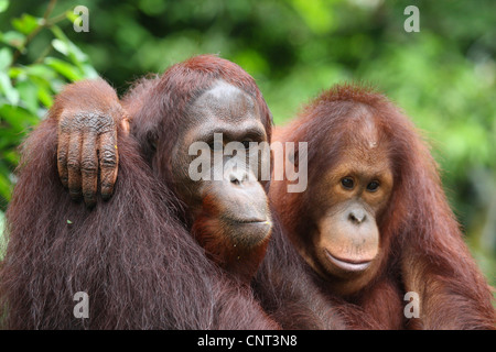 Orango, orangutan, orang-outang (Pongo pygmaeus), due individui avvolgente Foto Stock