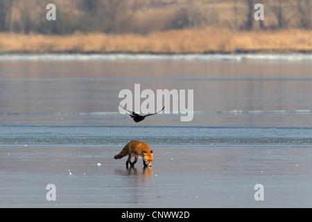 Corvo nero molesto Red Fox (Vulpes vulpes) Passeggiate sul ghiaccio del lago ghiacciato in inverno Foto Stock