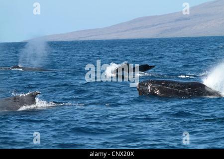 Humpback Whale (Megaptera novaeangliae), emergente e sommergendo individui, STATI UNITI D'AMERICA, Hawaii Maui Foto Stock