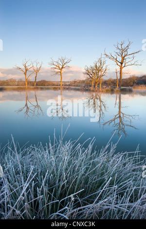 Alberi riflessa in uno specchio ancora lago di pesca su un gelido mattino, Morchard Road, Devon, Inghilterra. Inverno (novembre 2010). Foto Stock