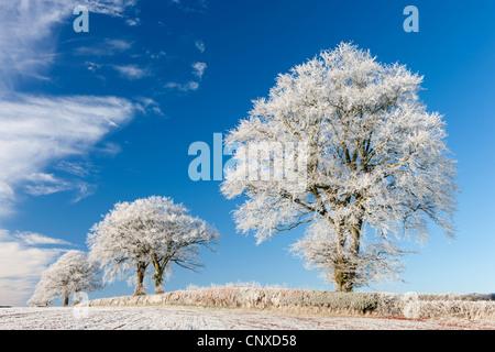 Bianco satinato trasformata per forte gradiente di alberi in un freddo inverno mattina, prua, Devon, Inghilterra. Inverno (dicembre 2010). Foto Stock