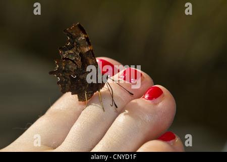 Virgola (Polygonia c-album, virgola c-album, Nymphalis c-album), seduto su un piede con le unghie dipinte di rosso Foto Stock