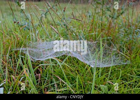 Foglio europeo-web spider, denaro spider, foglio-web weaver, linea di tessitura spider, linea weaver (Linyphia triangularis), Foto Stock