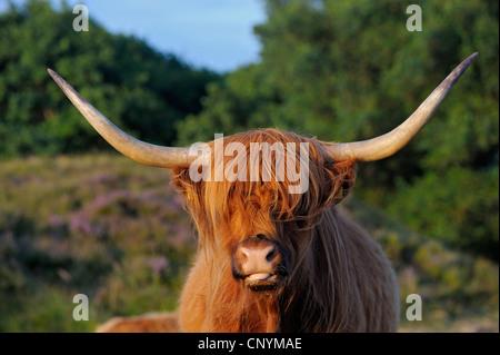 Gli animali domestici della specie bovina (Bos primigenius f. taurus), highland bestiame al pascolo, Paesi Bassi, Foto Stock