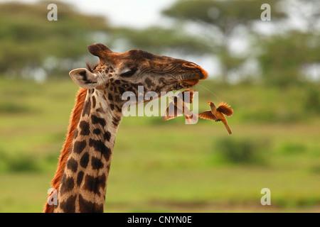 Giraffe (Giraffa camelopardalis), rosso-fatturati oxpecker mangiare altri insetti, Tanzania Ngorongoro Conservation Area