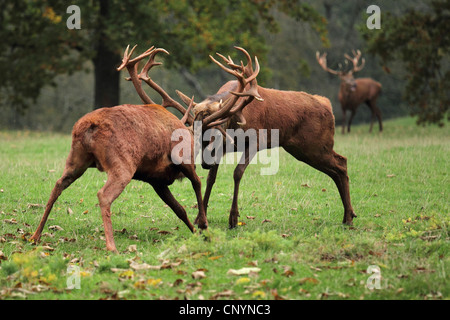 Il cervo (Cervus elaphus), due tori lotta sul terreno solchi, Germania Foto Stock