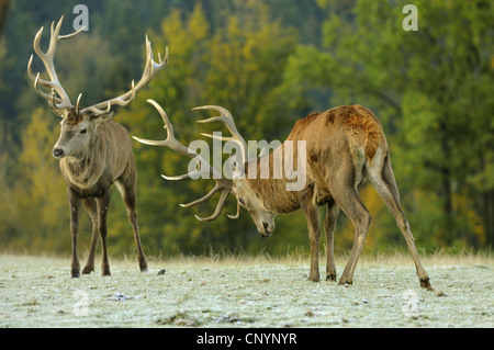 Il cervo (Cervus elaphus), due harts in classifica lotta, in Germania, in Baviera Foto Stock