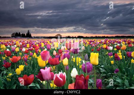 Tramonto sul campo di fattoria di coloratissimi Tulip fiori che sbocciano in Oregon in primavera Foto Stock