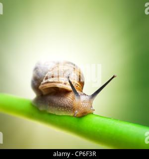 Snail strisciando sul gambo verde Foto Stock