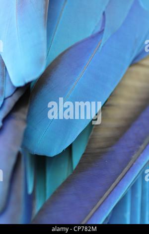Close up di un blu pappagalli piume Foto Stock