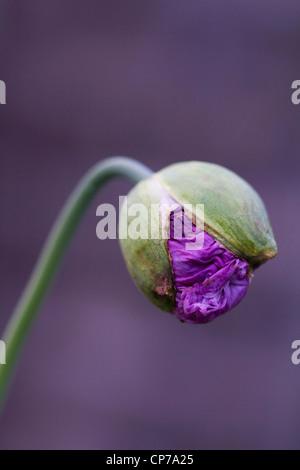 Papaver somniferum, papavero, Viola petali di fiori emergente da un germoglio verde su un gambo contro uno sfondo viola.
