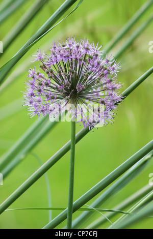 Allium Hollandicum 'viola sensazione', Allium, viola, verde.