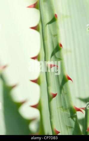 Aloe glauca, Aloe, aloe Blu, Verde. Foto Stock