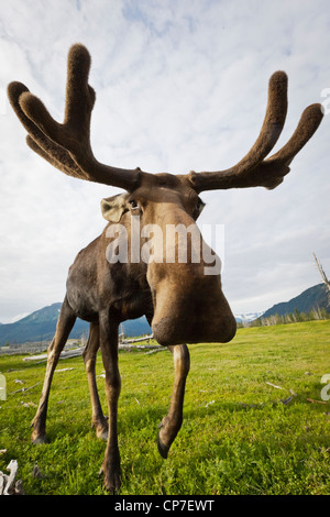 CAPTIVE: ampio angolo close up di un avvicinamento di alci con corna in velluto, Alaska Wildlife Conservation Centre, Alaska
