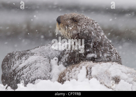 Snowcovered Sea Otter madre con un giovane cucciolo durante una bufera di neve in Prince William Sound, centromeridionale Foto Stock