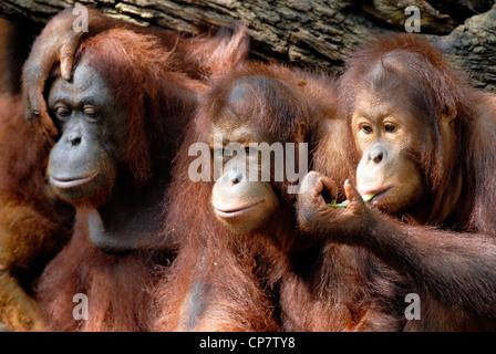 Chiudere il gruppo di Orang Utan adolescente condividendo alcuni alimenti. Foto Stock