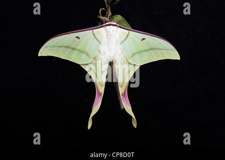 Luna Indiana tarma o indiani Luna Moth, Actias selene Foto Stock