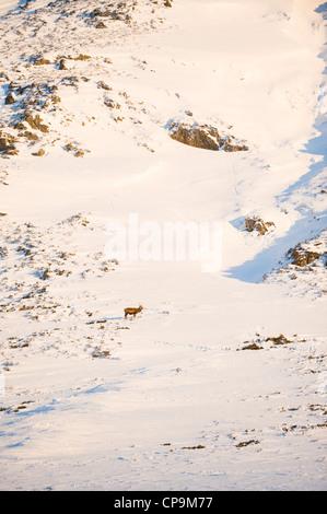 Red Deer alta su pendii montani, Glen Clunie in inverno, Cairngorms, Scotland, Regno Unito Foto Stock