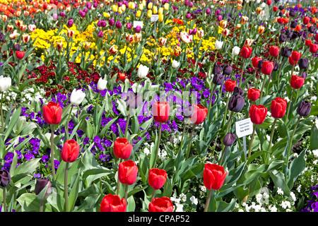 I tulipani fioriscono in primavera il giardino Isola di Mainau, Lago di Costanza, Baden-Württemberg, Germania Foto Stock