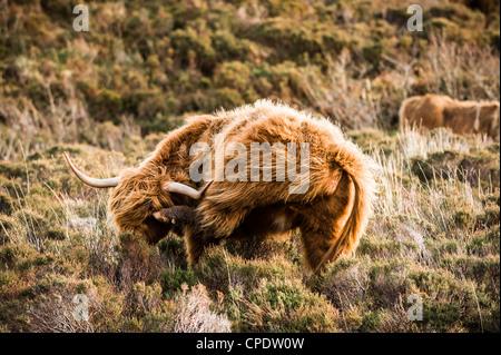 Highland bovini aventi un graffio sulla isola di Skye in Scozia Foto Stock