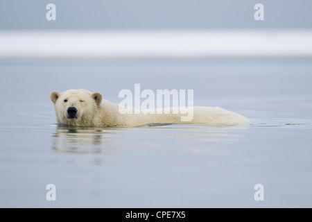 Orso polare Ursus maritimus piscina per adulti in Beaufort Sea, Kaktovik, Arctic nel mese di ottobre. Foto Stock