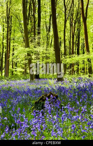Pezzata del sole cade attraverso il fresco verde fogliame di un legno di faggio delle Bluebells in Inghilterra, Foto Stock