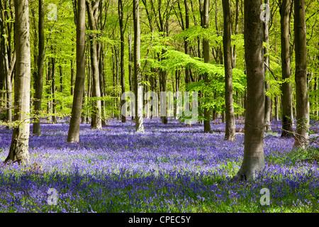 Pezzata del sole cade attraverso il fresco verde fogliame di un legno di faggio delle Bluebells in Inghilterra, Regno Unito Foto Stock