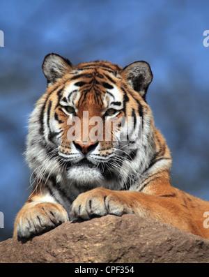 Il Tiger (panthera tigris) in close-up Foto Stock