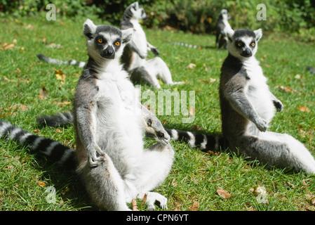 Anello-tailed lemuri (Lemur catta) Foto Stock