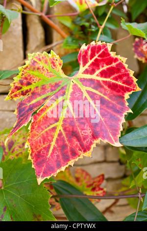 I colori autunnali di una foglia su un vitigno sul muro di pietra nel giardino di campagna a Swinbrook in Cotswolds, Foto Stock