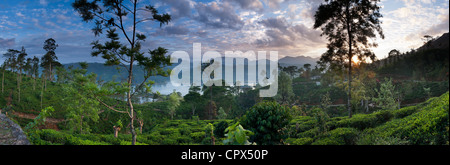 Una piantagione di tè vicino a Hatton, Highlands Centrali, Sri Lanka Foto Stock