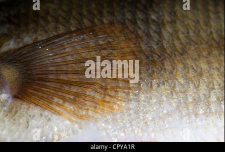 Squame di pesce e la pelle di un 1.1 kg di acqua dolce pesce persico (Perca fluviatilis ) Foto Stock