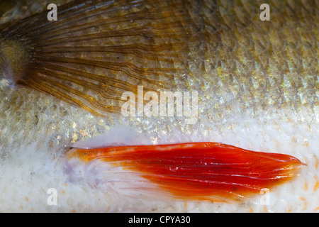 Pelle e scaglie di 1.1 kg di acqua dolce pesce persico (Perca fluviatilis ) Foto Stock