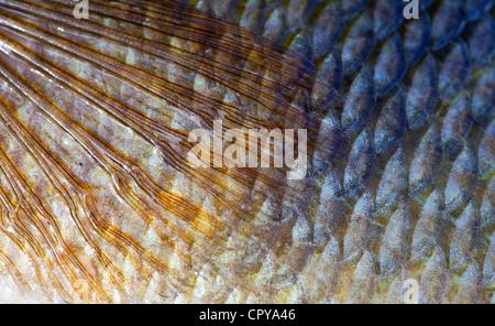 Closeup di pinne, pelle e scaglie di un perch europeo di acqua dolce di 1.1 kg (perca fluviatilis )