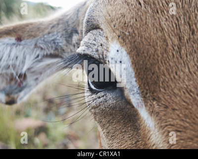 Close up di impala eye Foto Stock