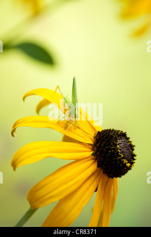 Black-Eyed Susan close-up Foto Stock