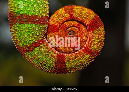Coda a spirale di una Pantera Chameleon (Furcifer pardalis), Ambilobe-Ambilorama variazione di colore, Ambilobe, Foto Stock